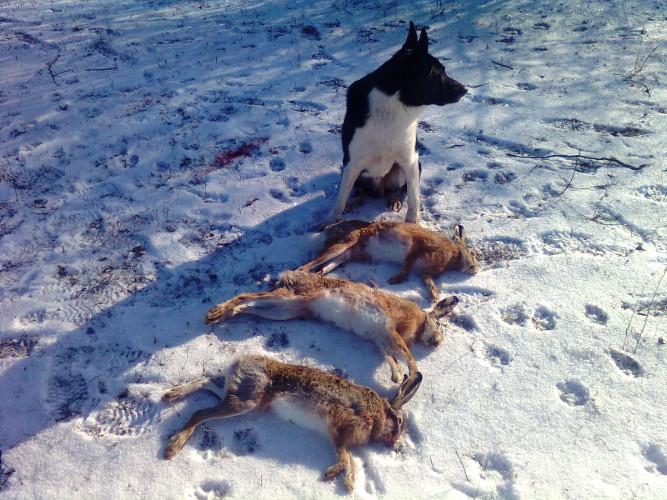 собаки для ловли зайца